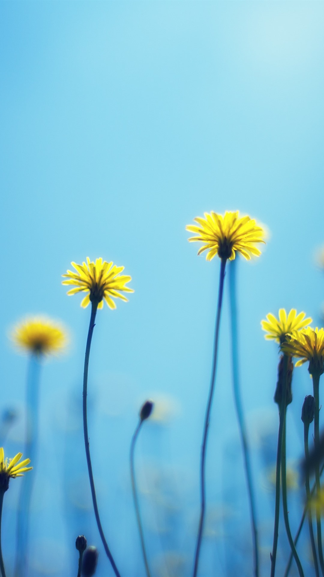 Dandelions Yellow Flowers Blue Background 1080x1920 Iphone 8 7 6