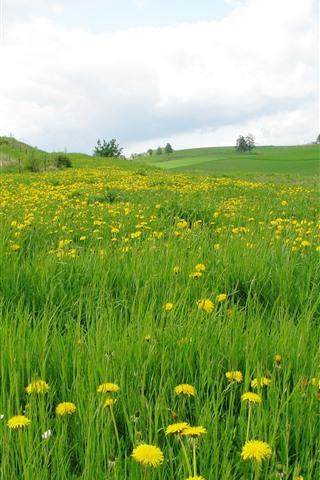 iPhone Wallpaper Dandelions, yellow flowers, green grass, field