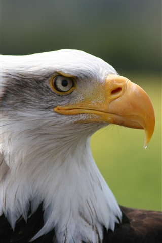 iPhone Wallpaper Eagle, head, side view, beak