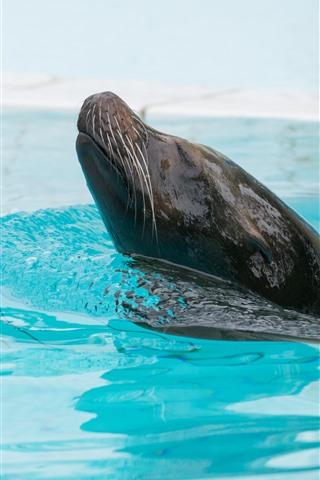 iPhone Wallpaper Fur seal, swimming pool