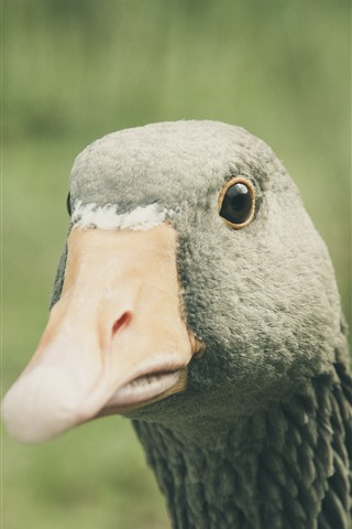 iPhone Wallpaper Goose, head, neck, beak