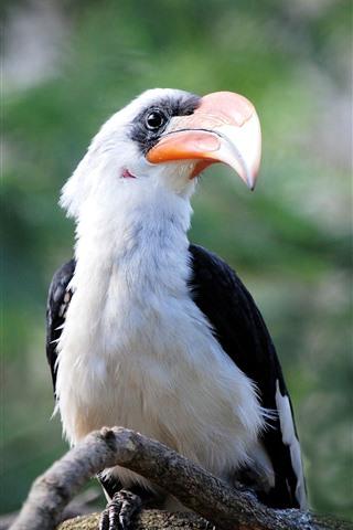 iPhone Wallpaper Great hornbill, bird, beak