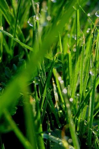 iPhone Wallpaper Green grass, dew, morning