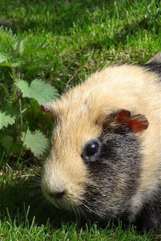 iPhone Wallpaper Guinea pig, grass