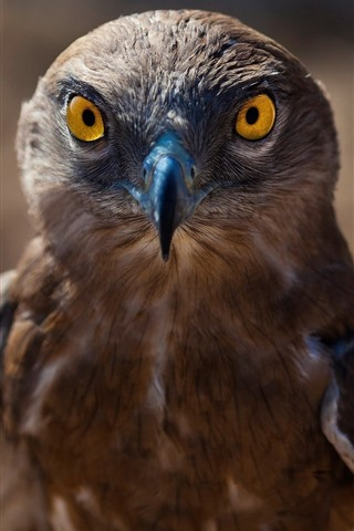 iPhone Wallpaper Hawk, brown feather eagle, beak, eyes, bird