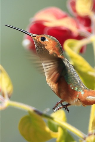 iPhone Wallpaper Hummingbird flying, red bougainvillea flowers