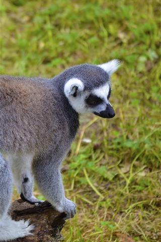 iPhone Wallpaper Lemur, tail, cute animal