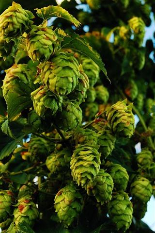 iPhone Wallpaper Many green hops