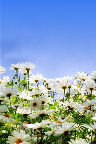 iPhone Wallpaper Many white daisies, petals, blue sky