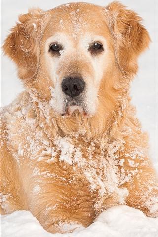 iPhone Wallpaper Orange dog, snow, cold