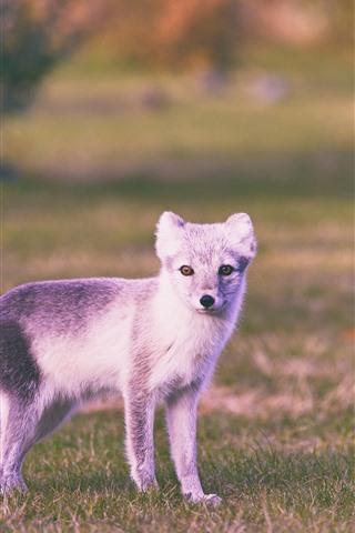 iPhone Wallpaper Polar fox, cute animal
