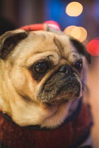 iPhone Wallpaper Pug dog, bright circles