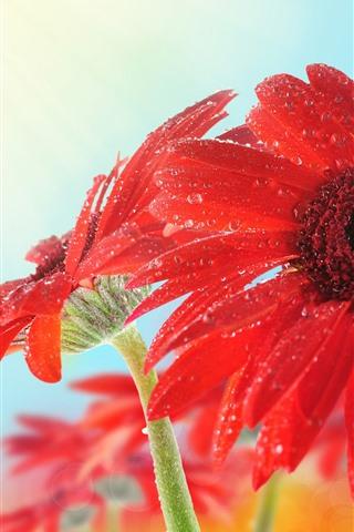 iPhone Wallpaper Red gerbera close-up, petals, water droplets