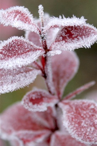 iPhone Wallpaper Red leaves, frost, ice crystal, winter