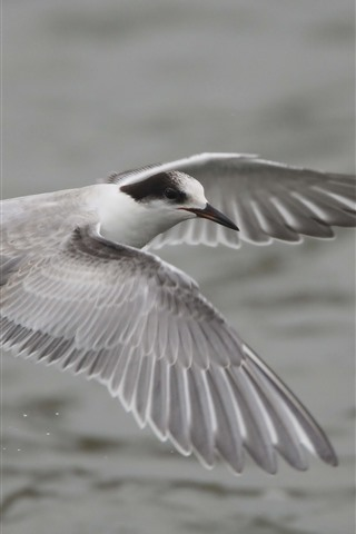 iPhone Wallpaper Seagull flight, wings, feathers
