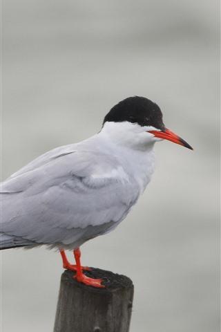 iPhone Wallpaper Seagull, stump, bird