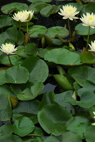 iPhone Wallpaper Some white water lilies flowers, pond