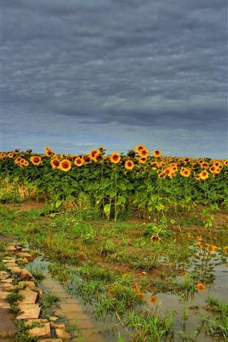 iPhone Wallpaper Sunflowers field, water, summer, clouds