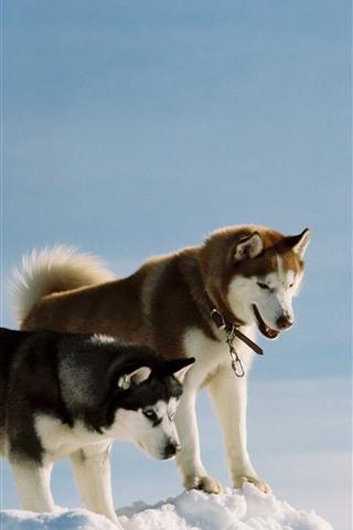 iPhone Papéis de Parede Três cães, husky, neve