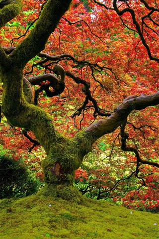 iPhone Wallpaper Tree, moss, red leaves, autumn