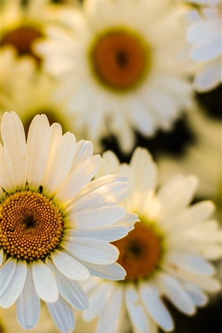 iPhone Wallpaper White daisies, many flowers