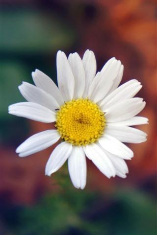 iPhone Wallpaper White daisy, petals, hazy