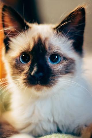 iPhone Wallpaper Cute furry kitten, blue eyes