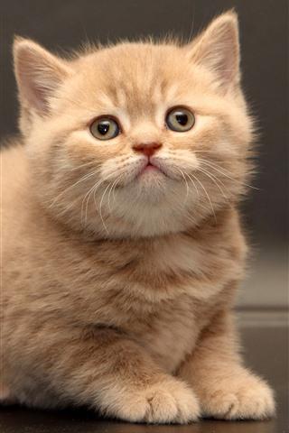 iPhone Wallpaper Cute furry kitten, look, pet