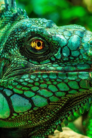 iPhone Wallpaper Green iguana, head, eyes