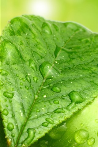 iPhone Wallpaper Green leaf and green apple, water droplets