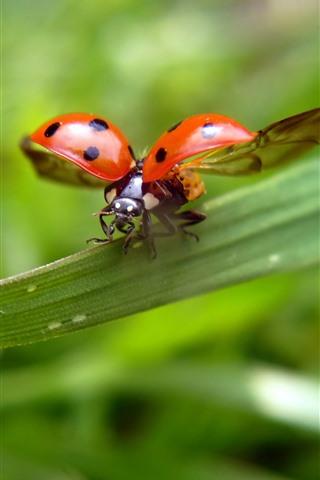 iPhone Wallpaper Ladybug, wings, green leaves