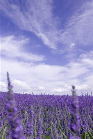 iPhone Wallpaper Lavender field, purple flowers, sky, clouds