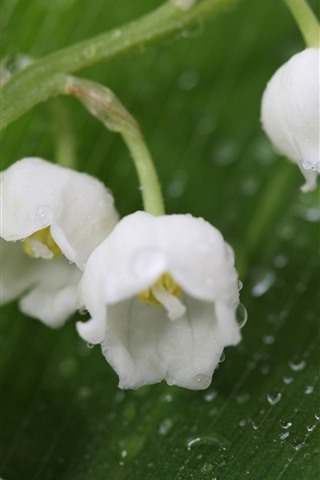 iPhone Wallpaper Lily of the valley, white flowers, water droplets