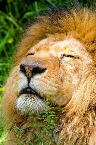 iPhone Wallpaper Lion sleep, mane, grass