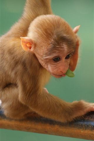 iPhone Wallpaper Little monkey, cute animal