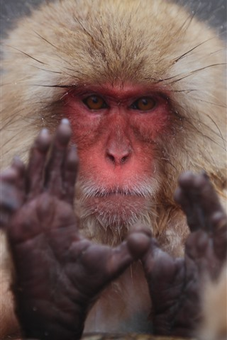 iPhone Wallpaper Monkey, look, face, hands