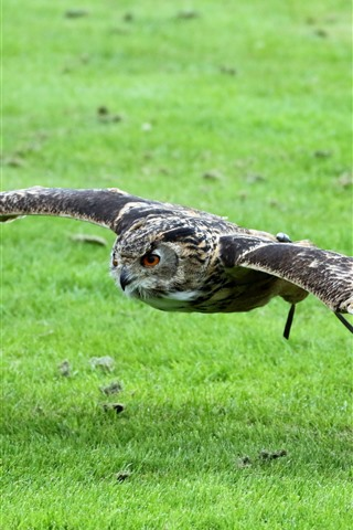 iPhone Wallpaper Owl flight, wings, green grass