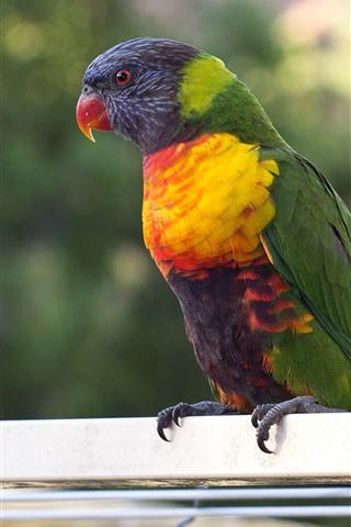 iPhone Wallpaper Parrot, colorful feather, bird, pet