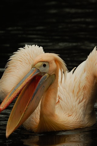 iPhone Wallpaper Pelican, bird, pond, water