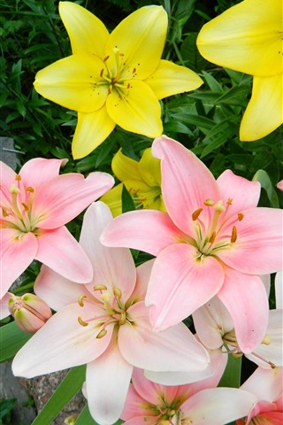 iPhone Wallpaper Pink and yellow lilies bloom