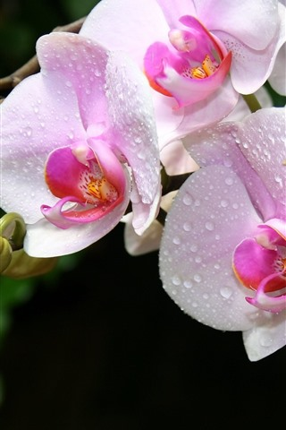 iPhone Wallpaper Pink orchids, water droplets, phalaenopsis