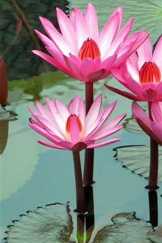 iPhone Wallpaper Pink water lily, flowers, pond