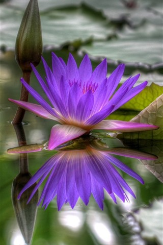 iPhone Wallpaper Purple water lily, pond, leaves