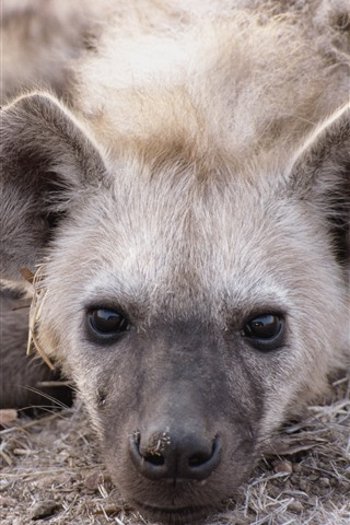 iPhone Wallpaper Two hyenas rest, head, nose