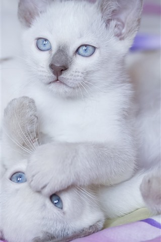 iPhone Wallpaper Two white kittens, blue eyes, playful