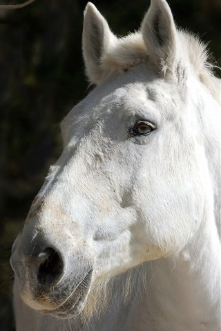 iPhone Wallpaper White horse, face, black background