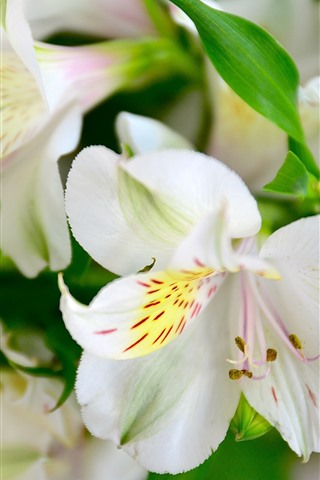 iPhone Wallpaper White lily, flowers, petals, macro photography