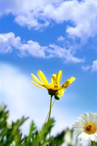 iPhone Wallpaper Yellow and white daisy, ladybug, blue sky, clouds