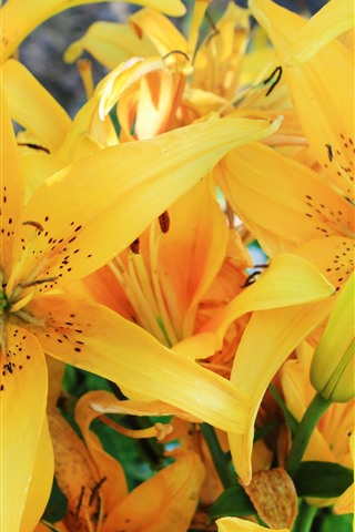 iPhone Wallpaper Yellow lily flowers, petals, bloom