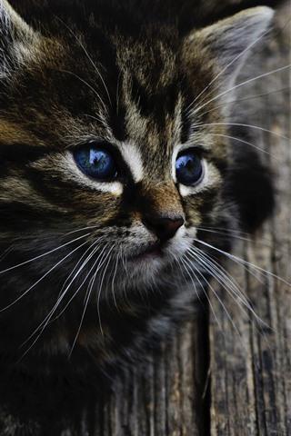 iPhone Wallpaper Cute gray kitten, blue eyes, look, wood
